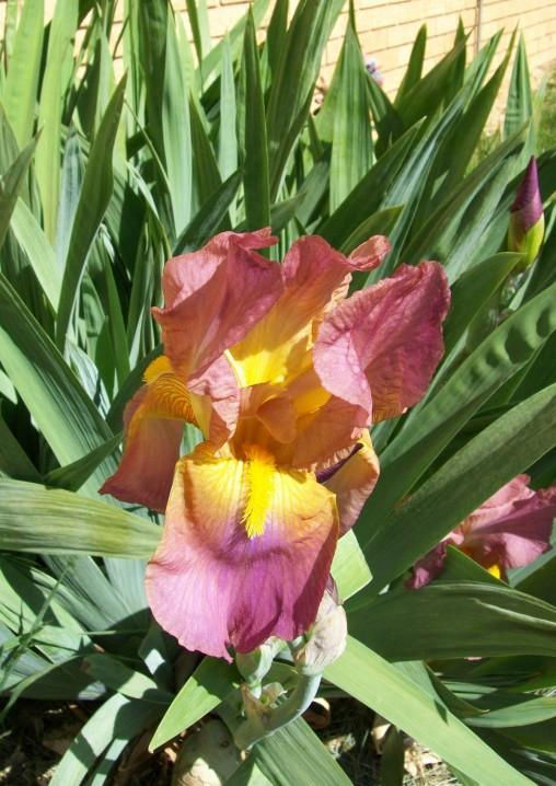 Irises, day 1a
