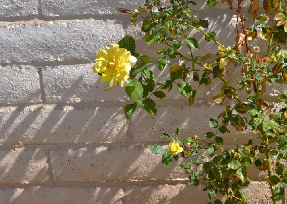 Yellow Roses 3