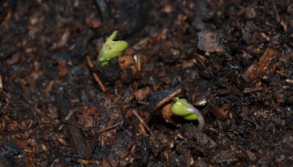 Cabbage 4-22