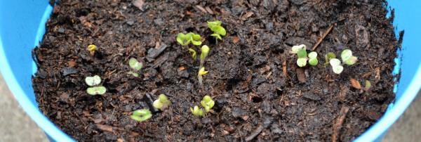 Cabbage 4-24