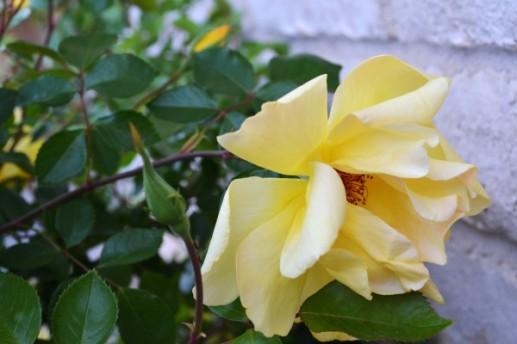 Lily 4-11b