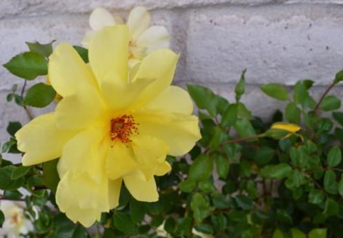 Lily 4-12b