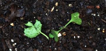 Cabbage 5-16