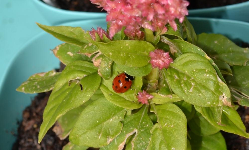 Celosia 5-13 (ladybug)