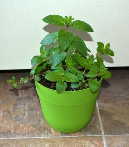 Choc Mint 5-31
