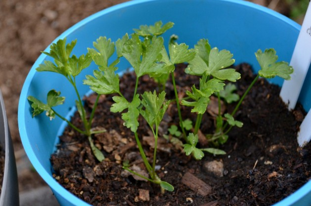 Parsley 5-31a