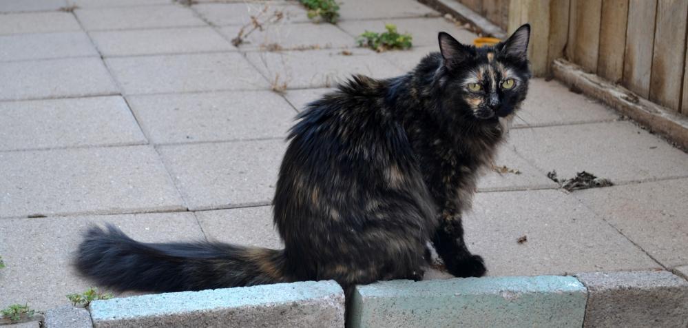 Neighbor Cat 1