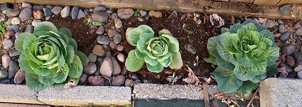 Cabbage 02-27-2016