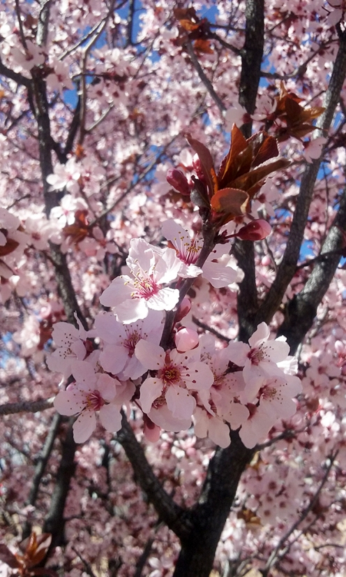March Cherry Blossoms
