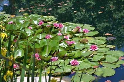 Water Lilliesb