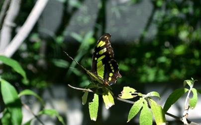 Butterfly 2B
