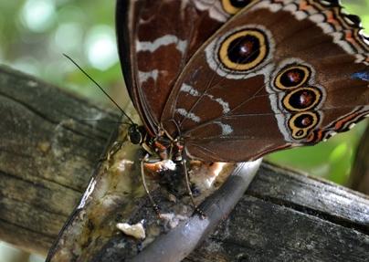 Butterfly 4B