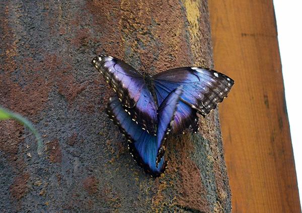 Butterfly 7B