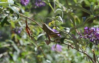 Grasshopper 1B