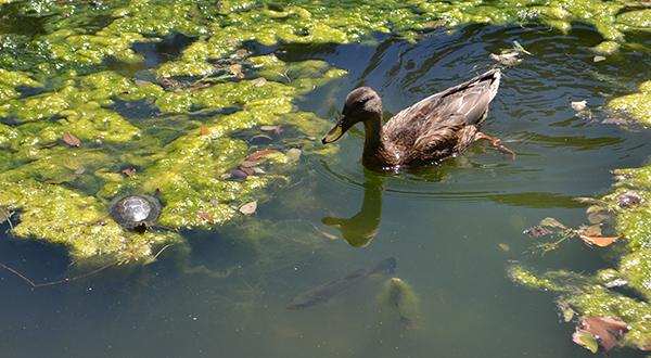 duck-pond-1