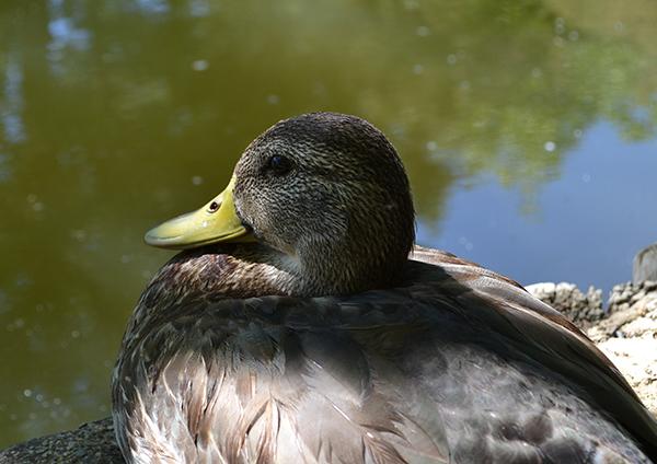 duck-pond-6