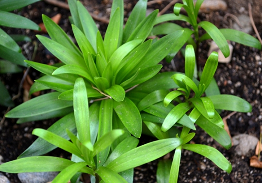03-23 Lillies